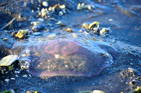pink transparent jellyfish stranded on sea shore photo