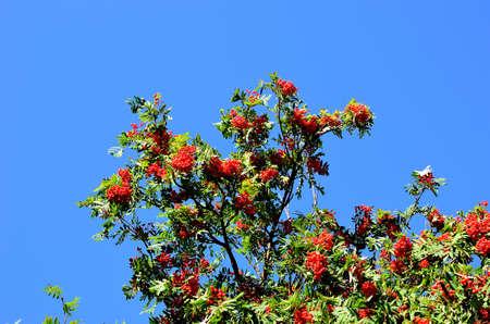 sorbus: vibrant red berries on rowan tree in autumn