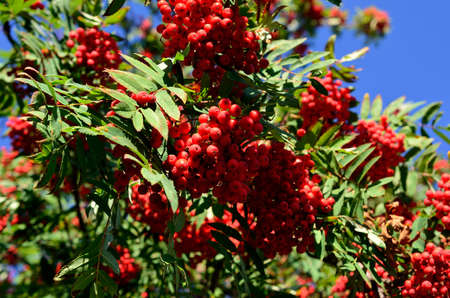 vibrant red berries on rowan tree in autumn photo