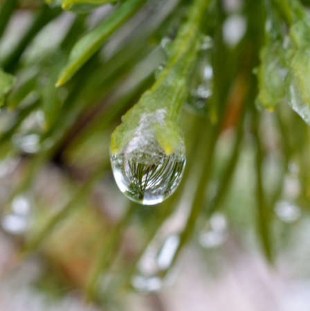 beautiful ice droplets on vibrant green pine tree needles macro photo photo