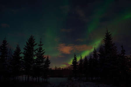 artic circle: Beautiful aurora borealis in winter spruce tree forest