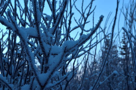 very cold: ice and rime covered shrubbery on a very cold winter day in the arctic circle nature Stock Photo