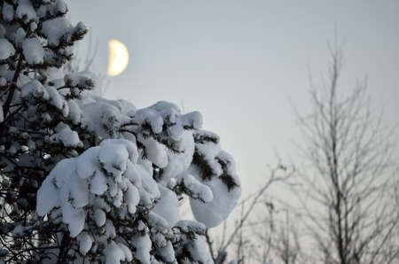artic circle: snow covered pine tree with half moon in background in northern wilderness in winter