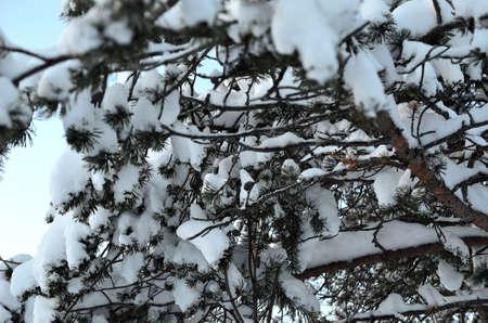 sub zero: frozen and snowy pine tree with cones in winter Stock Photo