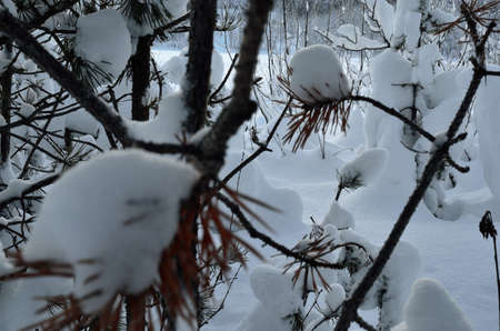 artic circle: snow and frost covered pine tree branches in winter time