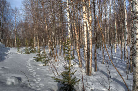 moose tracks in snow on sunny spring day with birch forest