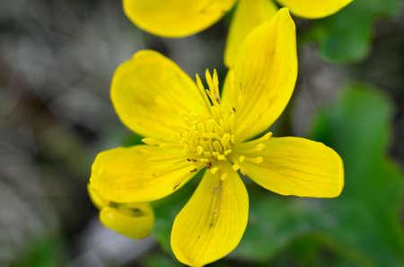 buttercup flower: beautiful buttercup flower in summer wilderness Stock Photo