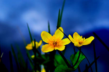 beautiful buttercup flower in summer wilderness photo