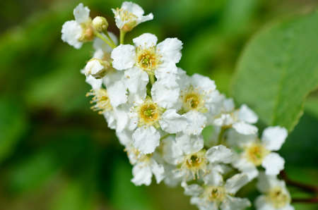 white blossoms on bird cherry tree in sunny summer forest photo