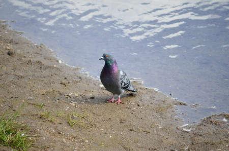 pidgeon: colourful pidgeon on pond shore close up Stock Photo