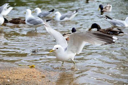 beack: seagulls in summer pond feeding Stock Photo