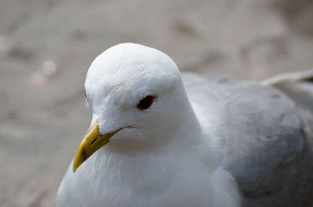 beack: beautiful white seagull close up head photo