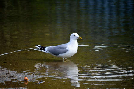beack: seagull standing in water