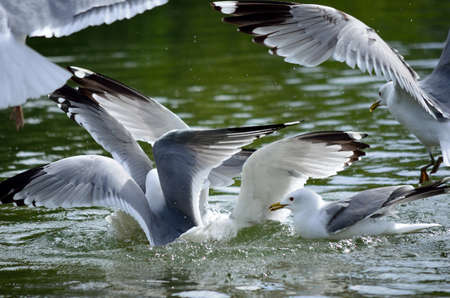 beack: seagull flock fighting for food in water Stock Photo
