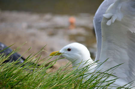 beack: seagull ready for takeoff in summer