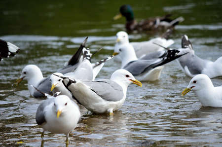 beack: seagull flock in summer pond close up Stock Photo