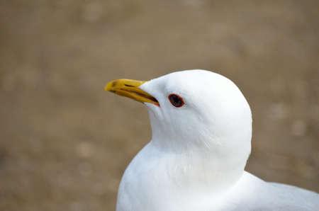 beack: white seagull eating food close up