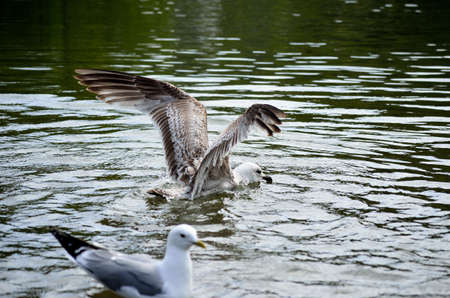 beack: seagull and birds feeding in pond