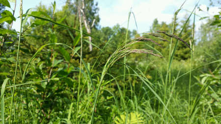 sway: Grass swaying in summer breeze