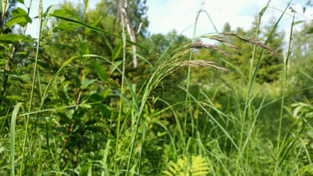swaying: Grass swaying in summer breeze