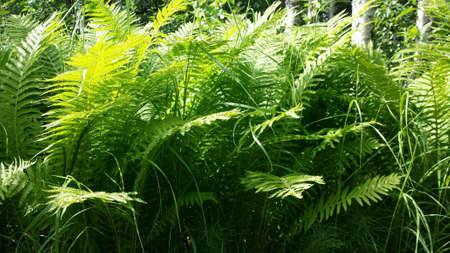 lush: Lush green arctic fern plants in summer nature