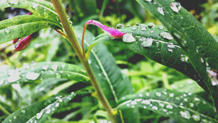 shiny: Shiny water droplets and pink petal on plant in nature
