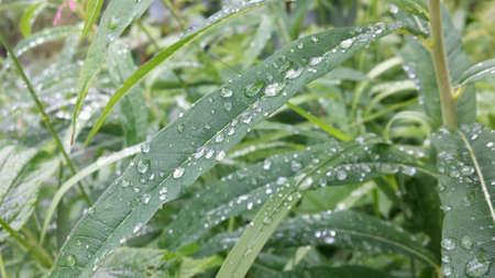 shiny: Serene water droplets resting on long plant leaf after rain shower