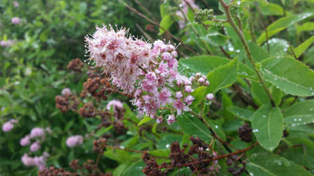 rain shower: Common pink lilac flower in summer after rain shower