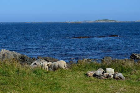 granja: hermoso ovejas pastando cerca de verano azul oc�ano