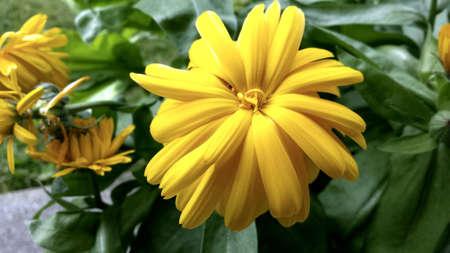 close: Vibrant yellow summer flower close up Stock Photo