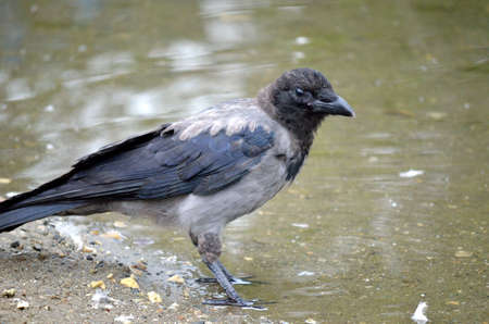 curve claw: crow on pond shore Stock Photo