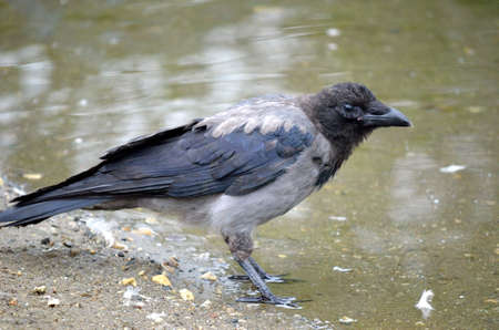 curved leg: crow on pond shore Stock Photo