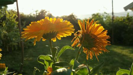 bright: Vibrant yellow flowers macro photo on bright sunny late autumn day