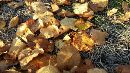 the color of silence: Yellow birch leaf on ground in autumn sunshine macro Stock Photo