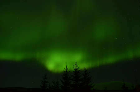 auroral: amazing aurora borealis dancing on star filled autumn night sky over spruce trees