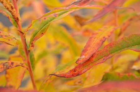 autumn colour: all rainbow colour on plant in autumn nature in the arctic circle