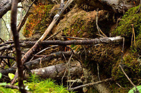 toppled: tree root toppled over Stock Photo