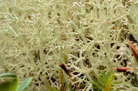 fine tip: soft lush white moss with small red tips in arctic circle autumn forest wild