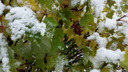 coldly: New snow on redcurrant bushes in late arctic circle autum nature