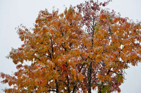 rowan tree: snowy colourful rowan tree in late arctic circle autumn Stock Photo