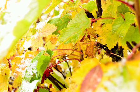 autumn colour: rainbow colour on redcurrant bush with snow in late arctic circle autumn Stock Photo