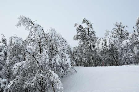 heavy snow: heavy snow on trees Stock Photo