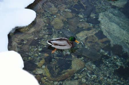 webfoot: male mallard duck in cold sea water