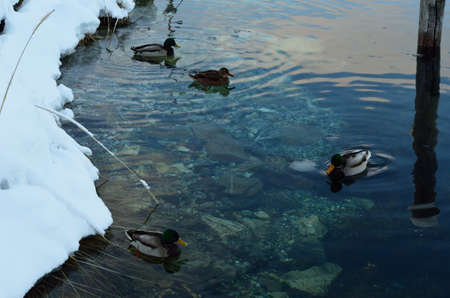 webfoot: male and female mallard ducks in cold sea water Stock Photo