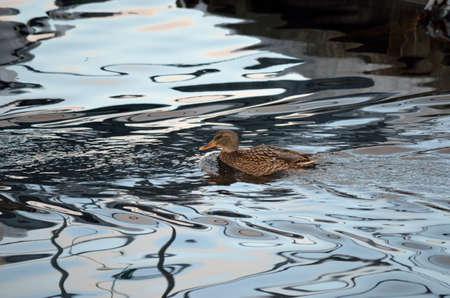 webfoot: beautiful female mallard duck swimming in cold harbor sea water in wintertime