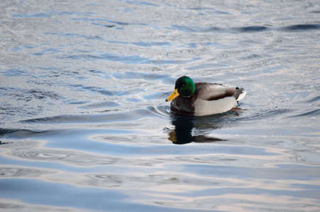 webfoot: beautiful male mallard duck swimming in harbor in wintertime Stock Photo