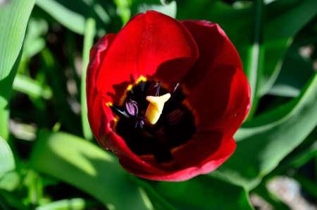sensation: beautiful red vibrant Allium aflatuense, also known as purple sensation flower in summer sunshine