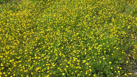 grassy: Beautiful yellow buttercup flowers on green grassy summer pasture
