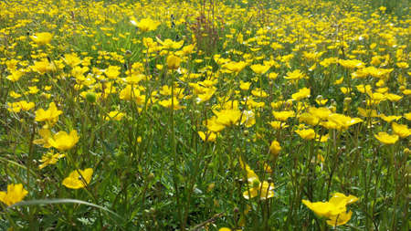 grassy: Beautiful vibrant yellow buttercup flowers on green grassy summer pasture Stock Photo