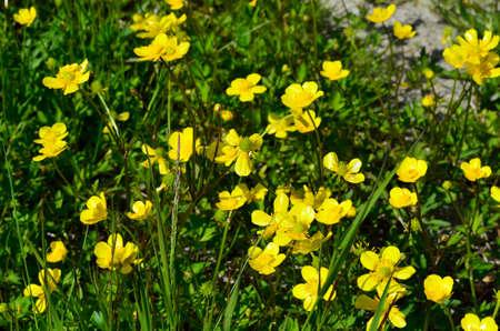 buttercup flower: big yellow buttercup flower patch on green summer pasture Stock Photo